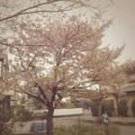 桜の咲く頃・・・