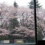 ~桜満開~社窓より